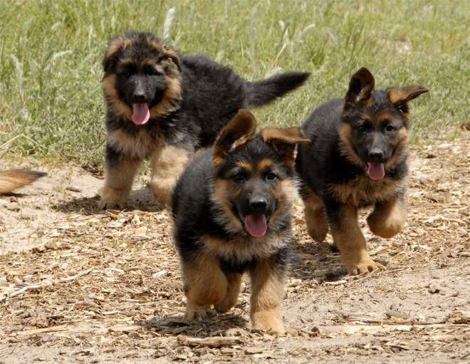 Northern Ireland Healthy german shepherd puppies
