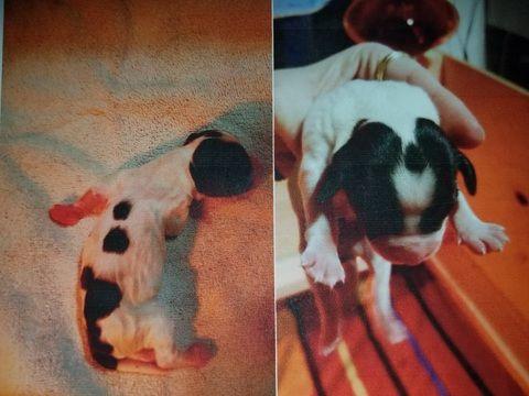 Litter of 6 English Springer Spaniel puppies for sale in SHERBURN, MN. ADN-25269 on PuppyFinder.com Gender: Female. Age: 1 Week Old
