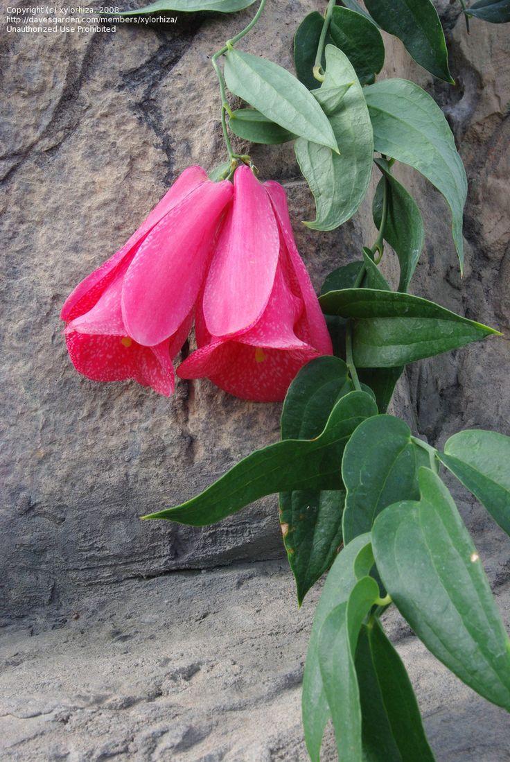 Chilean bellflower in the Rio Grande BG Conservatory (Albuquerque, NM)