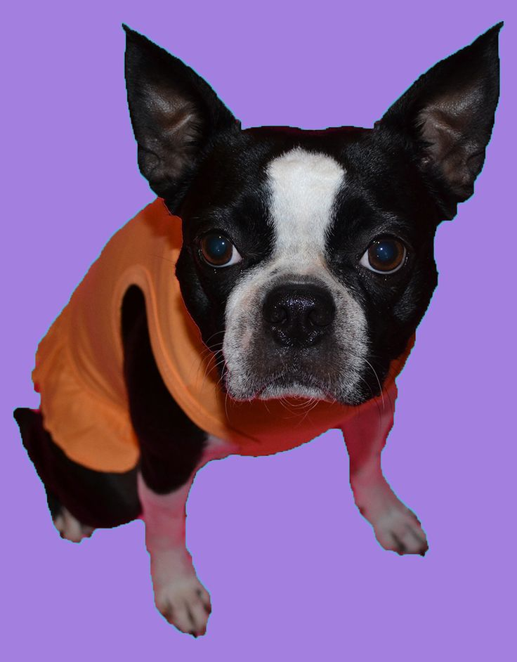 What are you looking at???  :) Lucy the Boston Terrier dog in her neon orange dress   www.fetchdogfashions.com  #puppy