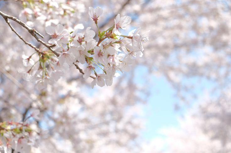 桜・夜ノ森 Cherry flowers (Yonomori, Tomioka-Town, Fukushima, JAPAN)