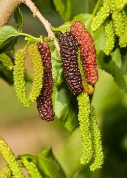 mulberry mature personals At willis orchard company, we provide an incredible selection of mulberry trees for sale browse our stock of white, black and red mulberry trees.