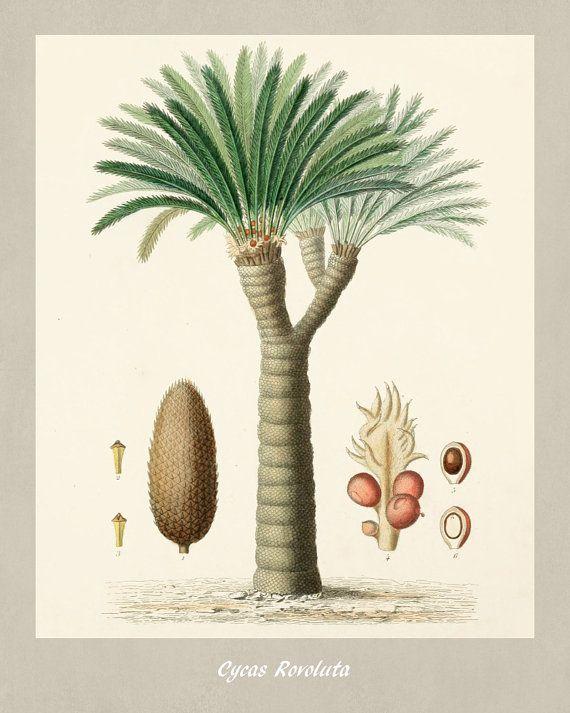 Palma sagú Botánico Palma de sagú Vintage grabado ilustración