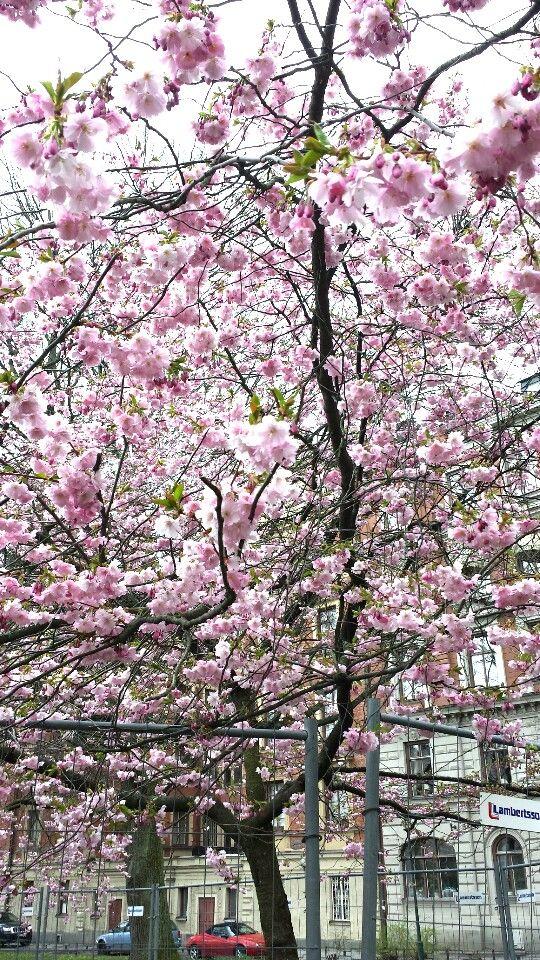 Körsbärsträd i Stureparken