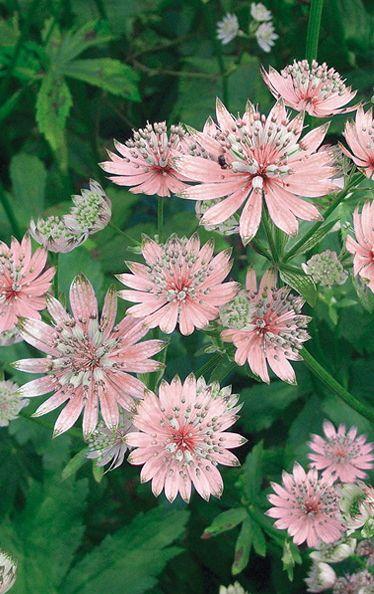Astrantia: Growing Masterwort Plants In Your Garden                                                                                                                                                                                 More