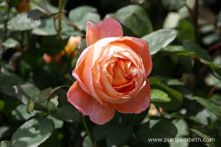 Elegantly perfumed roses to plant this winter - Pumpkin Beth