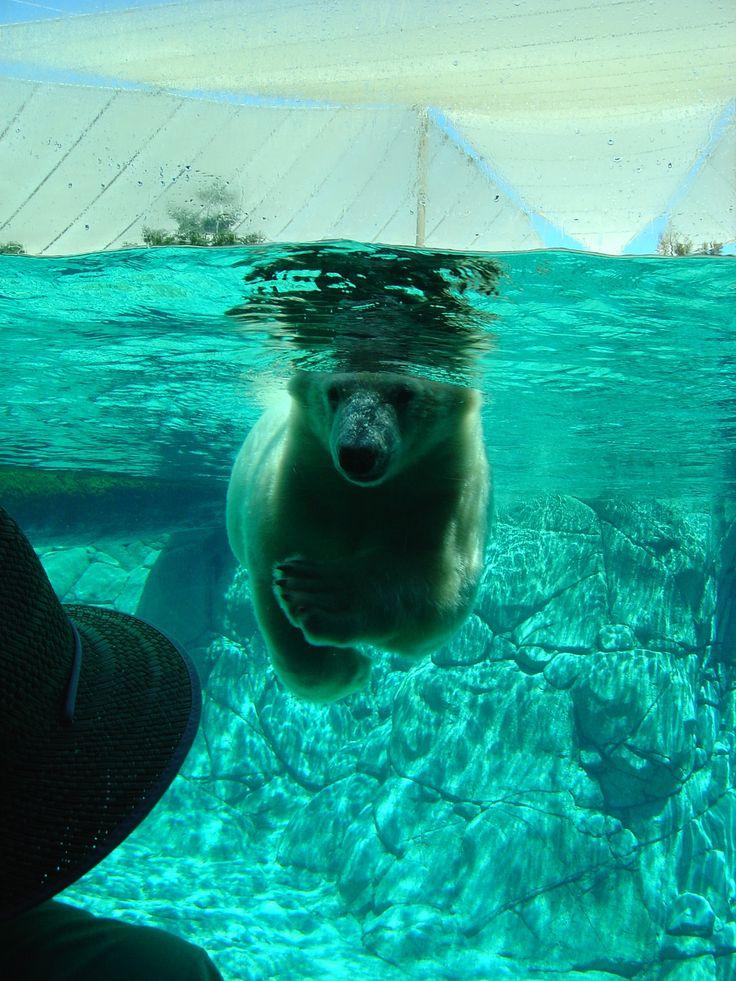 Polar Bears at Sea World on the Gold Coast.   Theme park in #Queensland, #Australia  http://www.madeinindia.net.au/