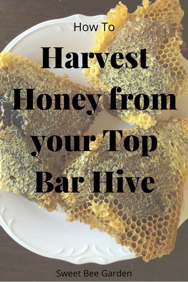 No fancy extractors or equipment necessary! Read this post and learn how to harvest honey, plus how much and when, from your top bar hive.