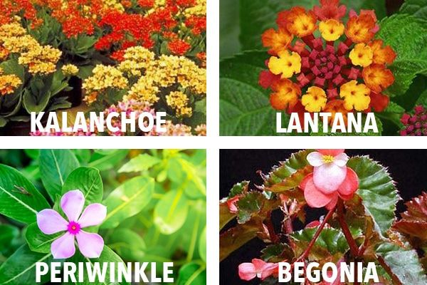 Here S A List Of Common Garden Plants Found In The Philippines That The Aspca Classified As Toxic And Non Toxic Plants Common Garden Plants Plant Pictures