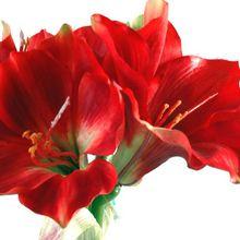 Amaryllis - Instructions de plantes et de culture - Soins du jardin de fleurs