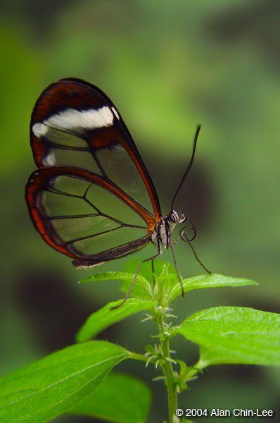 Glasswing (Greta Io), Belize. Florida Museum of Natural History Lepidoptera Image Gallery, Alan Chin-Lee, photographer.