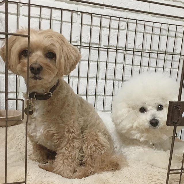 . .  なぜか1番狭いケージに無理矢理一緒に入って寛ぐてっちゃん&ルーちゃん🐶 ♡ 今日はシャンプー🛁したからちょっぴりお疲れモード🐶.。o○ . .  #dog#dogs##bichon#bichonfrise#maltipoo#teddy#luke#犬#愛犬#多頭飼い#マルプー#ミックス犬#ビション#ビションフリーゼ