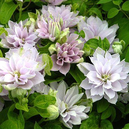 Clématite 'Dancing Queen' - Plantes et Jardins