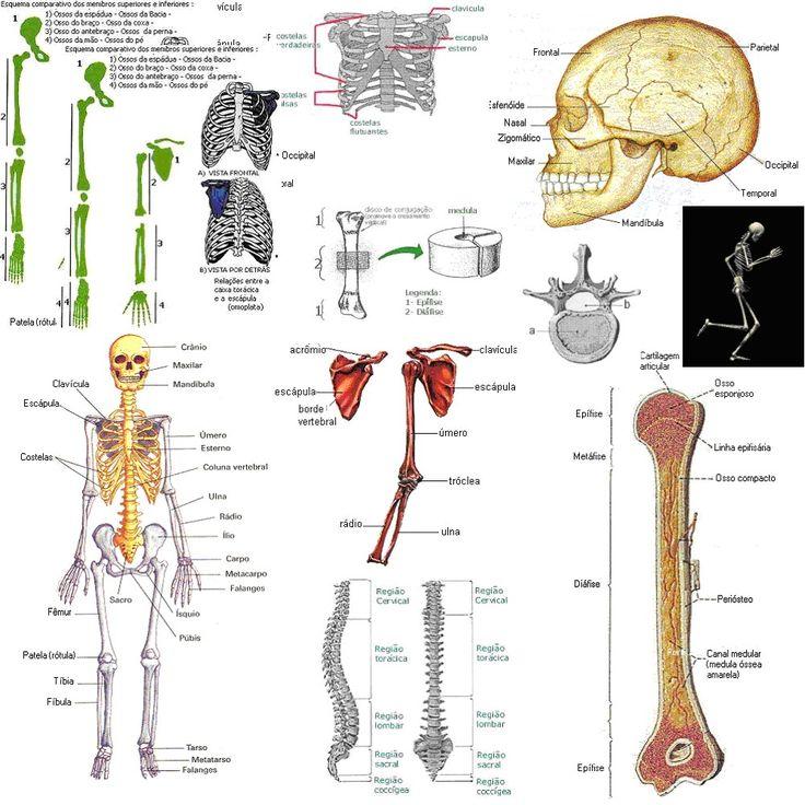 12 best Anatomia humana images on Pinterest | Human anatomy, Human ...