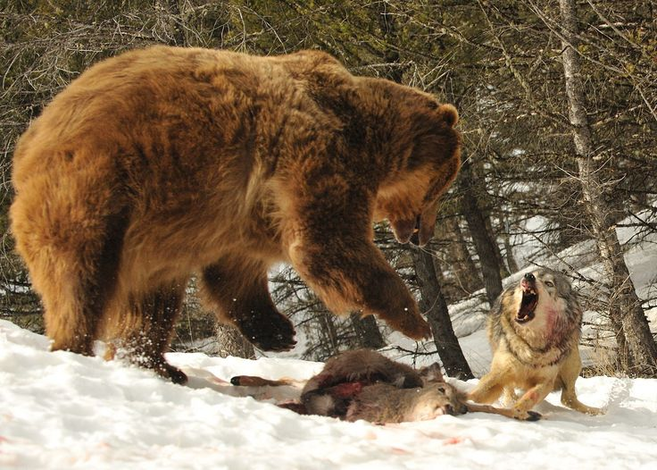 bluffing grizzly bear and best all around The 4 very best calibers for hunting big game as the best all-around hunting caliber is really and is the preferred caliber of grizzly bear and moose.