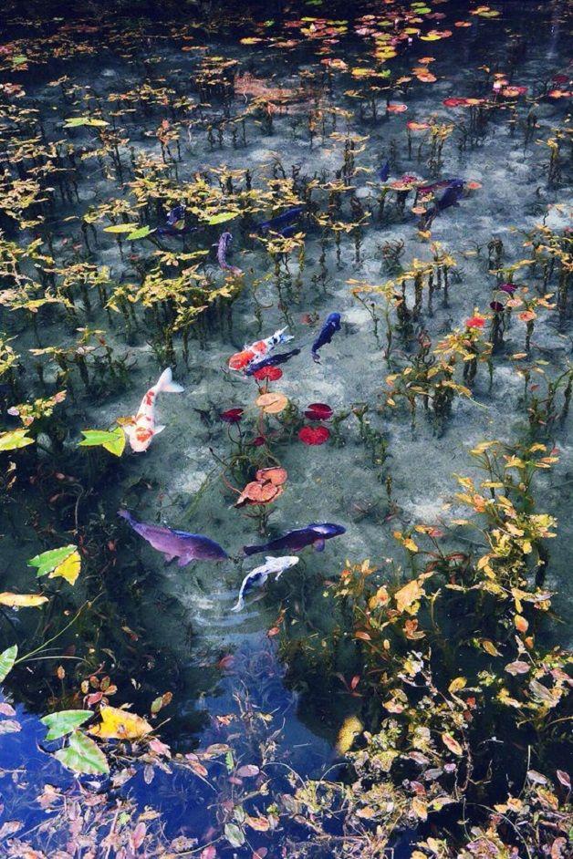 """Água turquesa, muitos lírios d'água e dezenas de carpas douradas e laranjas. Uma pequena lagoa japonesa ficou famosa por sua impressionante beleza, que lembra uma série de pinturas feitas pelo artista impressionista Claude Monet – a semelhança até fez com que a lagoa ficasse conhecida pelo nome do francês.    A """"Lagoa de Monet"""" n..."""
