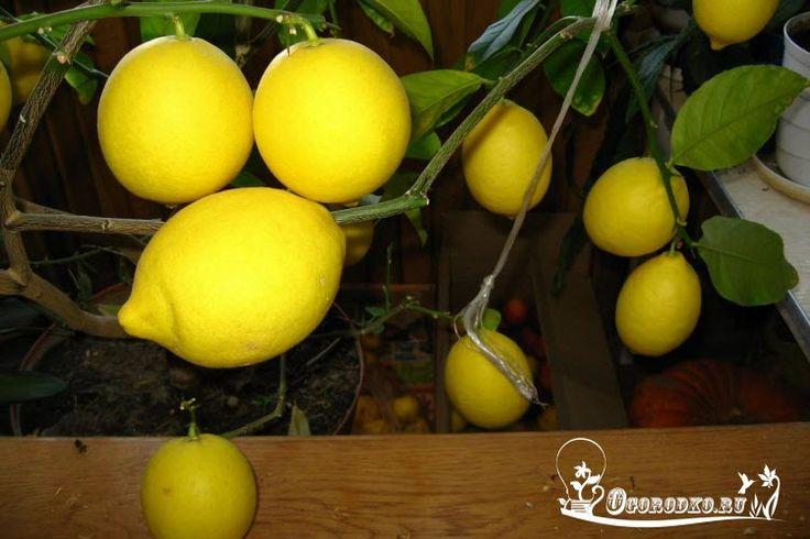 Как ухаживать за лимоном в домашних условиях – шпаргалка для домохозяек    Содержание статьи:  1. Какие условия нужны комнатному лимону?  2. Подкормка и полив домашнего лимона  3. Болезни и вредители лимона, борьба с ними    Выращивая экзотическое растение в квартире, нужно знать, как ухаживать за лимоном в домашних условиях. Дерево достаточно капризное, чтобы получить вкусный урожай требуется приложить не мало времени и сил для долгожданного результата. Только соблюдение определенных правил…