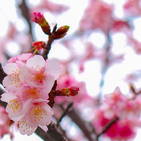 【tsubassa_photo】さんのInstagramをピンしています。 《寒波に負けず咲く桜🌸 少し早めのささやかな春🌸 @熱海  #photo #写真 #japan #写真撮ってる人と繋がりたい #写真好きな人と繋がりたい #ファインダーごしの私の世界 #桜 #cherryblossom #早咲き桜 #東京カメラ部 #tokyocameraclub #flower #beautiful #beautiful_flowers #雨にも負けず #雨の中の撮影 #もっと上手くなりたい #桜はこれから #桜咲く季節 #熱海 #atami #仕事の合間の1枚》
