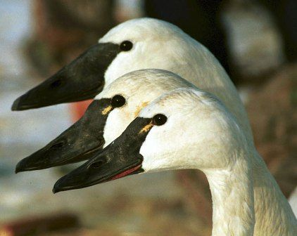 Trumpeter with Tundra Swans.