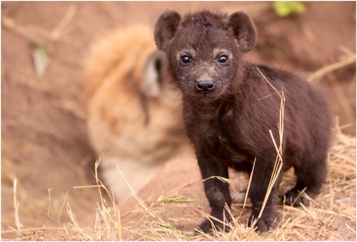 Cute Hyena cub @ Kruger National Park, 🇿🇦 South Africa...