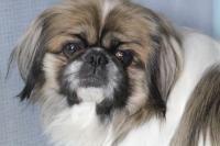 Louie - Pekingese pet adoption in Scranton PA #dogadoption
