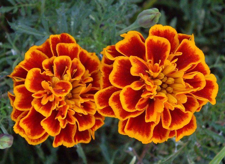 Marigold+Flowers+Wallpaper