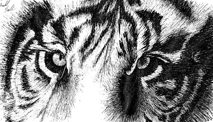 Line Drawing Of A Tiger S Face : Best my drawings images draw and