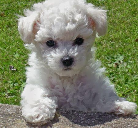 Bichon Frise | Small Dogs Breeds - types of small dogs
