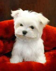 mini maltese..I don't normally like the frilly dogs, but this one is adorable! Looks like the Caesars dog!