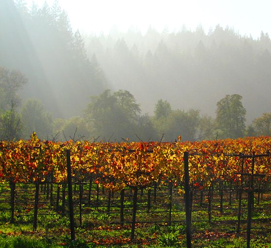 Napa beauty in every season. Autumn foliage in the vineyard.