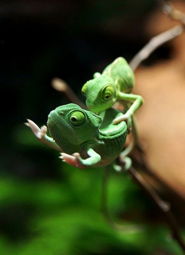 reptiles animal chameleon frog - photo #8