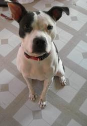 April is an adoptable Pit Bull Terrier Dog in Peoria, IL. Meet April!! She is a black and white, 2 year old Pit Bull Terrier mix. She recently finished raising her puppies and is now looking for a hom...: Meet April, Adorable Black, Finished Raising, Black And White, 2 Year Olds, Terrier Mix, Pit Bull Terriers