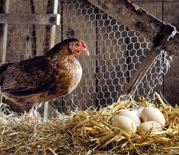 Find out how to keep your chickens safe, and avoid smelly coops, in the stifling summer heat.