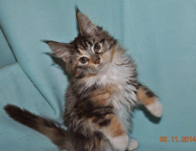 Maine Coon - Mainská mývalí kočka: Naše první koťátko