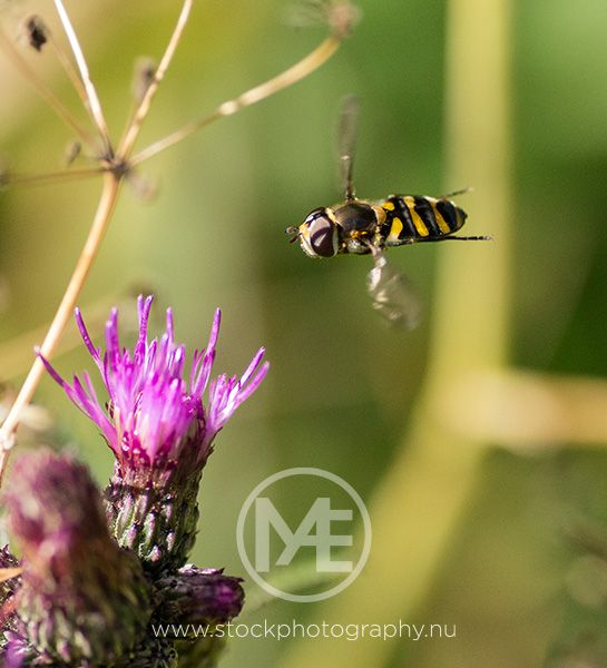 Hoverfly approaching a thistle.  © Arno Enzerink / www.stockphotogra... All rights reserved.