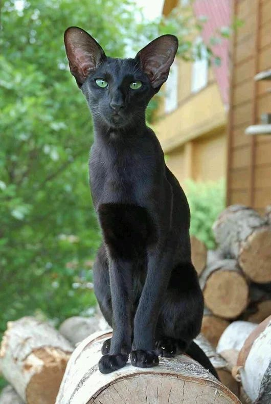 Gorgeous pure black Oriental Shorthair cat. How much do you love him?!