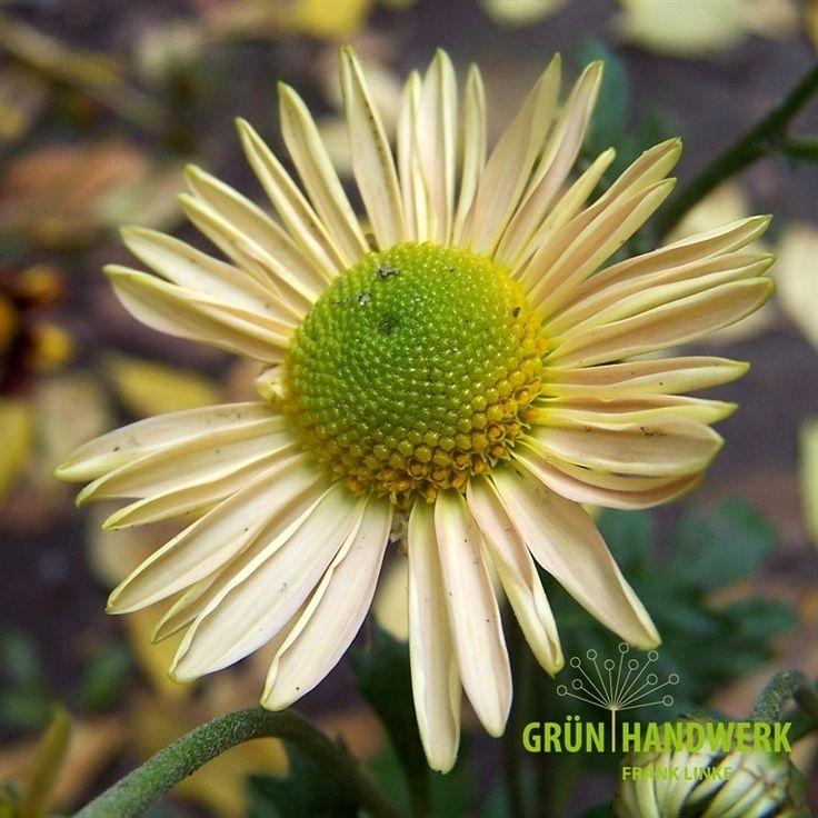 Chrysanthemum x hortorum 'Isabellarosa'