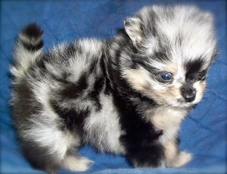 25+ best ideas about Blue merle pomeranian on Pinterest ...
