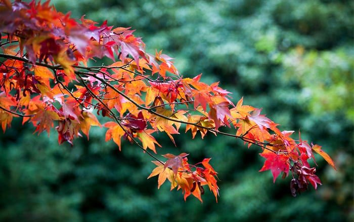 How To Grow Acers Or Japanese Maples April Plant Of The Month In 2020 Japanese Maple Small Trees For Garden Flowering Pear Tree