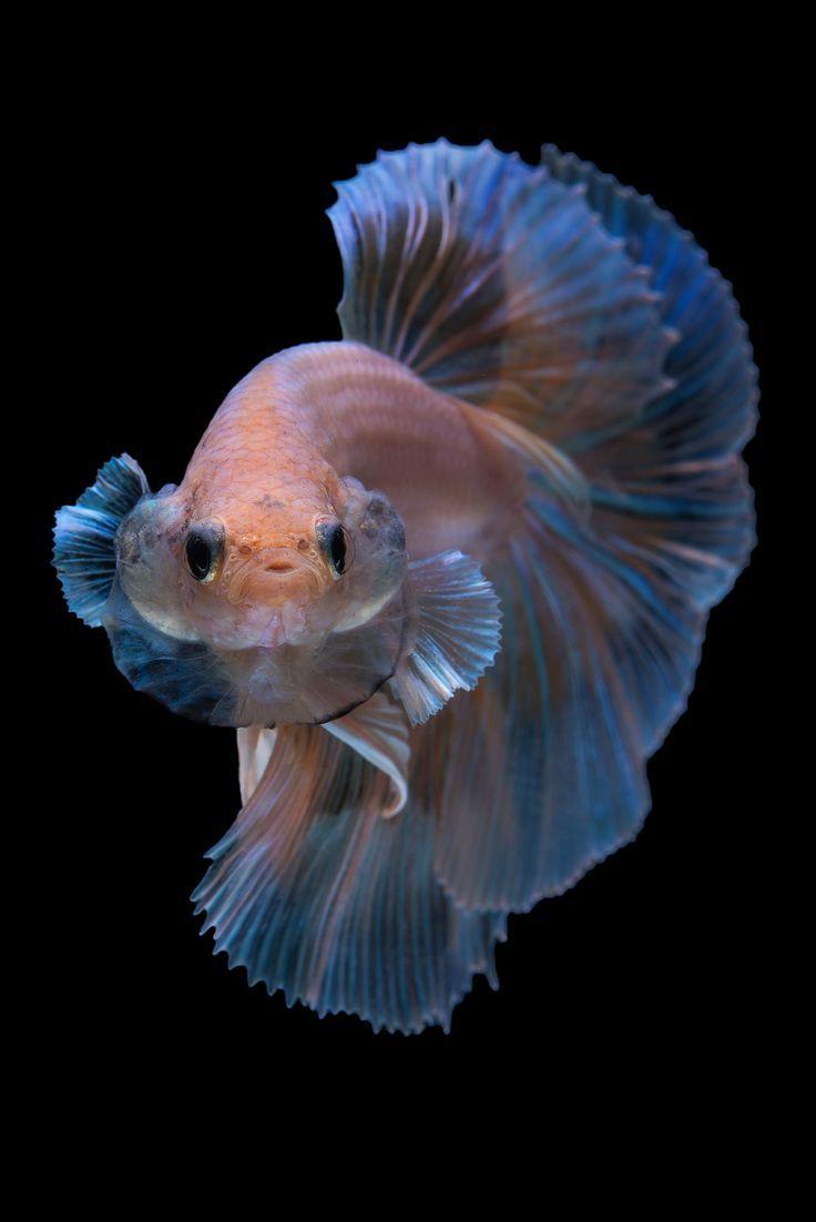 Art Des Betta Fisches Wenn Sie Wie Ich Sind Und Eine Starke Leidenschaft Fur Susswasser Haben Betta Fisch Kampffisch Aquarienfische