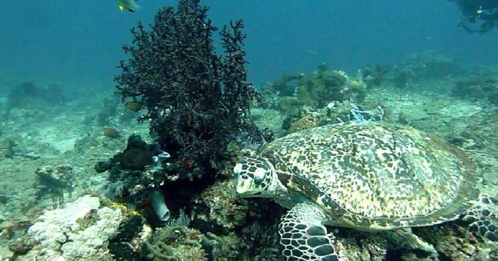 バリ島アメッドカメ/Bali, Amed diving