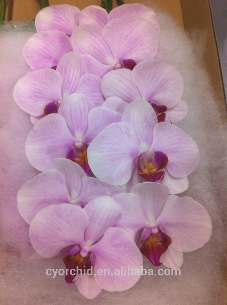 Red Phalaenopsis Orchid Pink | Pink flower with red lip wedding decoration Phalaenopsis orchid cut ...