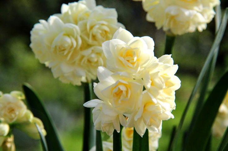 """113- Je suis au jardin : Narcisses Erlicheer.- § JARDIN LE NÔTRE: ... et communes, NARCISSES BLANCS ET JAUNES, anémones doubles et simples, couronnes impériales, pivoines, iris, asters, jacinthes Totus Albus et autres plantes annuelles"""" . On plantes marronniers d'Inde, érables sycomores, sapins, épicéas, houx, chênes verts, pyracanthas, lauriers-tins, cyprès et buis en boule pour masquer les murs et, près des 6 grands portiques en treillage d'osier et de châtaignier, sont cités:..."""