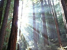 Sequoia sempervirens (coastal redwood)-the tallest tree in the world, only grows in California & SW Oregon, up to 95% of old growth has been cut down, bark up to a foot thick!