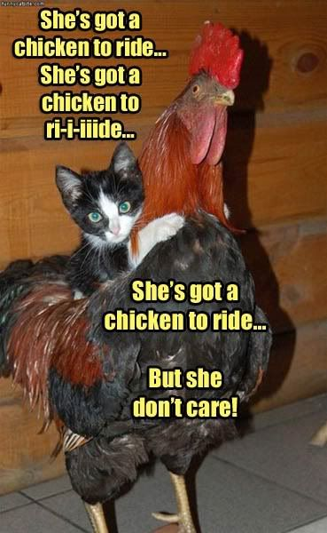 Shes Got A Chicken To Ride#Repin By:Pinterest++ for iPad#: Funny Pets, Funny Kitty, Chicken, The Beatles, Funny Stuff, Crazy Cat, Music Memes, Animal, Cat Memes