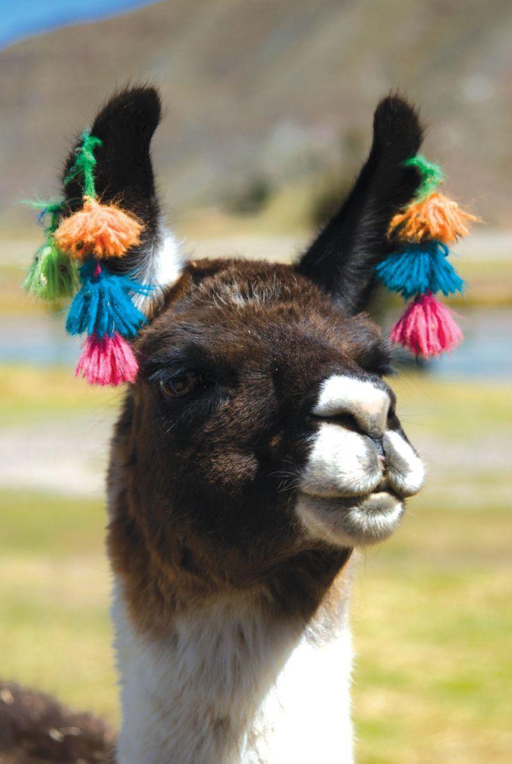 Animals Cute Alpaca Adorable Llama With Images Llama
