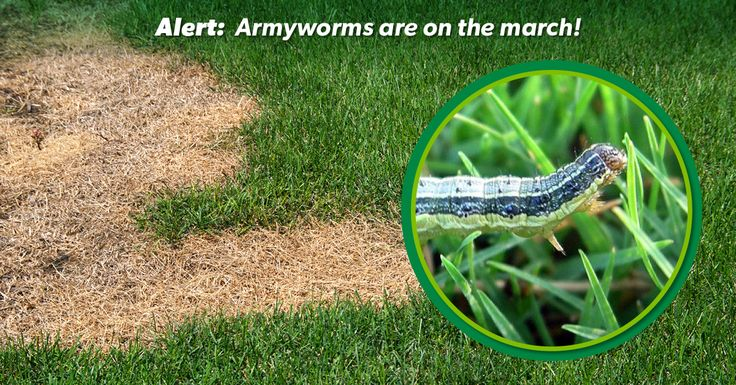 Some handy tips for identifying and treating lawn pests