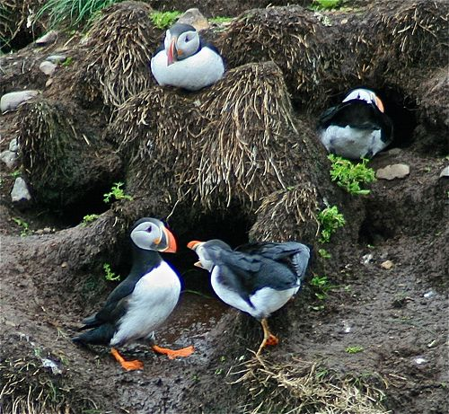 Atlantic puffins in Witless Bay, Newfoundland.
