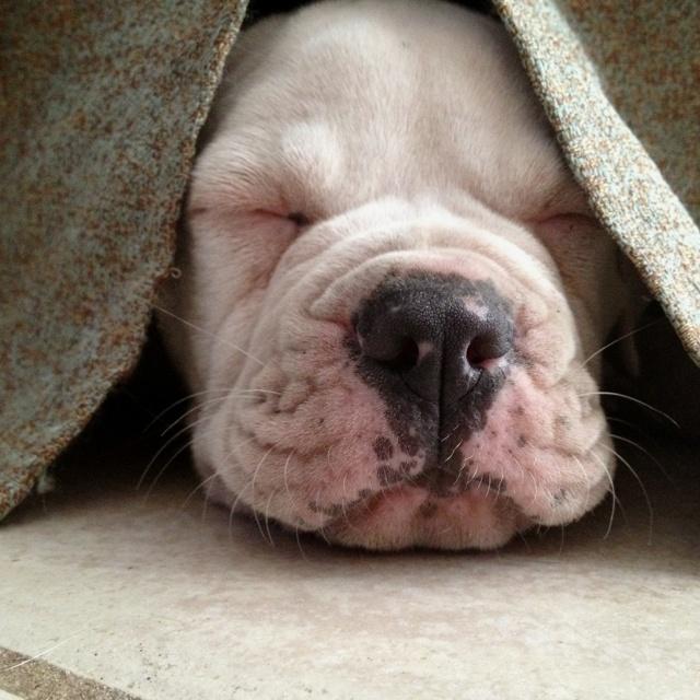 Tired american bulldog puppy