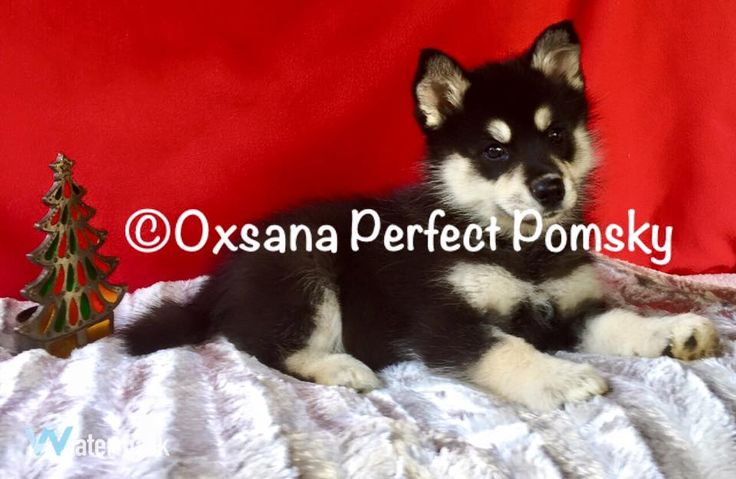 Puppy C Female Pomsky  puppy. Ready to go home after Nov 21st. We are a small breeder and specialize in high quality pomskys only.  We breed only for health, beauty, intelligence and personality. check out our website perfectpomsky.com or facebook page Oxsana Perfect Pomsky puppies for sale.Puppies come with FREE shipping, up to date vaccinations, wormed, vet checked, microchip, health certification and guarentee.Be sure to click on the individual photos to see entire photo of this…